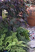 ACER PALMATUM SP UNDERPLANTED WITH FERNS AGAINST SLATE CHIPPING PATHWAY