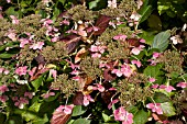 HYDRANGEA SERRATA BLUEBIRD IN AUTUMN