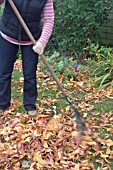 RAKING UP AUTUMN LEAVES FROM THE LAWN