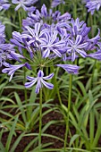 AGAPANTHUS MOONLIGHT SILVER