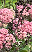SEED HEADS WITH SEDUM HERBSTRFREUDE IN BACKGROUND
