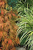 ACER PALMATUM DISSECTUM,  DECIDUOUS, SEMI CLOSE UP, EARLY AUTUMN