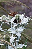 INSECTS ENJOYING NECTAR ON ERYNGIUM GIGANTEUM MISS WILLMOTTS GHOST