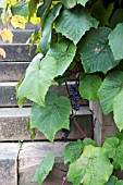 GRAPE VINE GROWING AGAINST STONE STEPS