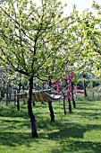 HAMMOCK STRUNG BETWEEN BLOSSOMING APPLE TREES IN SPRING