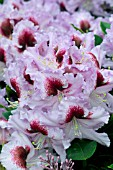 RHODODENDRON MRS T H LOWINSKY