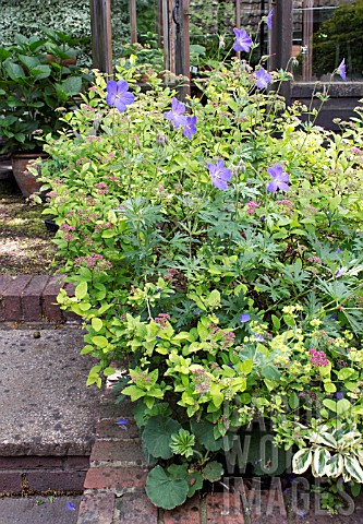 SMALL_URBAN_GARDEN_BORDER_WITH_SPIREA_JAPONICA_CANDLELIGHT_AND_GERANIUM_JOHNSONS_BLUE