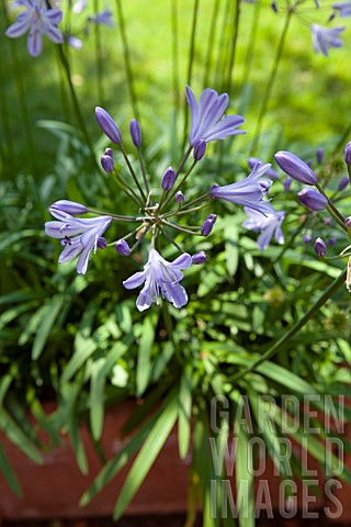 AGAPANTHUS_LILY_OF_THE_NILE_IN_TERRACOTTA_POT