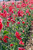 LATHYRUS RED ACE