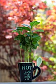 COFFEA ARABICA - COFFEE PLANT  EDITORIAL USE ONLY