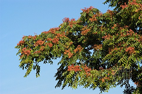FRAXINUS_EXCELSIOR__COMMON_ASH__SEEDS__AUTUMN________________________________