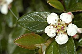 COTONEASTER HORIZONTALIS,  FLOWER AND BUDS.