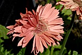 FASCIATION OCCURING IN GERBERA JAMESONII