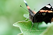 VANESSA ATALANTA,  RED ADMIRAL BUTTERFLY ON AUBERGINE LEAF