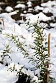 ROSEMARINUS OFFICINALIS, ROSEMARY IN WINTER