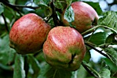 MALUS DOMESTICA, DUCHESS OF OLDENBURG APPLES