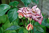 THRIPS DAMAGE TO ROSES