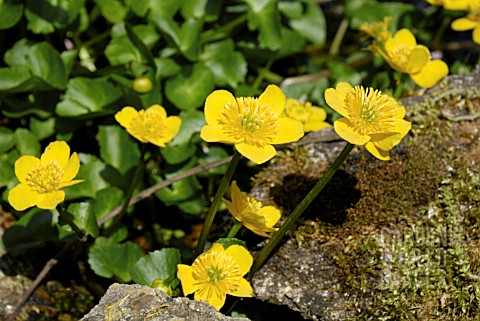 CALTHA_PALUSTRIS_______________________________