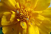 GREENFLY ON TAGETES PATULA,  FRENCH MARIGOLD