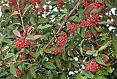 COTONEASTER WATERERI WITH BERRIES