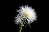 SEEDHEAD OF PRICKLY SOW-THISTLE, SONCHUS ASPER