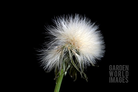 SEEDHEAD_OF_PRICKLY_SOWTHISTLE_SONCHUS_ASPER