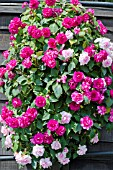 IMPATIENS WALLERIANA FIESTA MIXED