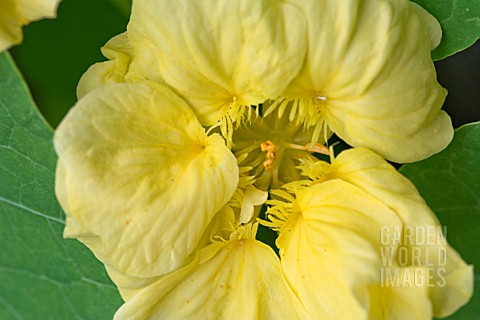 TROPAEOLUM_MAJUS_DOUBLE_DELIGHT_CREAM