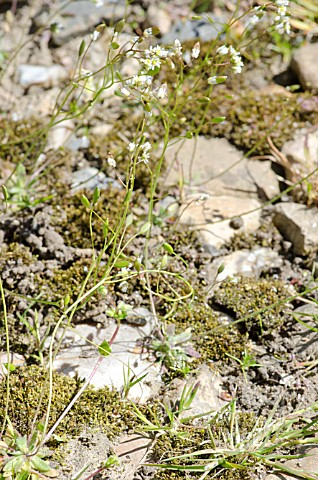 COMMON_WHITLOW_GRASS_EROPHILA_VERNA