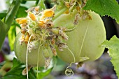 FASCIATION ON CUCUMBER CRYSTAL APPLE PLANT