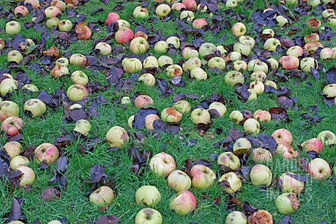 WINDFALL_BRAMLEY_COOKING_APPLES