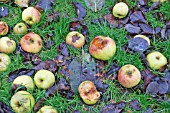 WINDFALL BRAMLEY COOKING APPLES