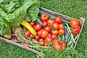BOX OF ALLOTMENT HARVESTED VEGETABLES