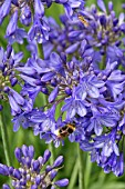 BUMBLE BEE ON AGAPANTHUS CAMPANULATUS ISIS
