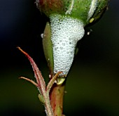 CUCKOO SPIT PRODUCED BY FROGHOPPER NYMPH WITH A ROSE APHID
