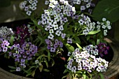 ALYSSUM EASTER BONNET IN CONTAINER