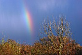 FRAXINUS EXCELSIOR,  COMMON ASH IN WINTER,  WITH RAINBOW