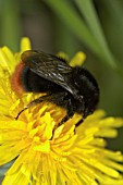 RED-TAILED BUMBLEBEE ON DANDELION