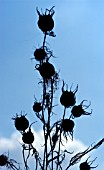 NIGELLA DAMASCENA SEEDHEADS AGAINST BLUE SKY
