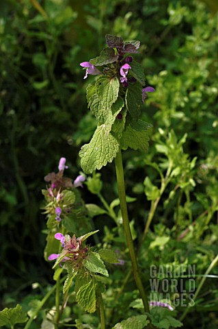 LAMIUM_PURPUREUM_RED_DEAD_NETTLE