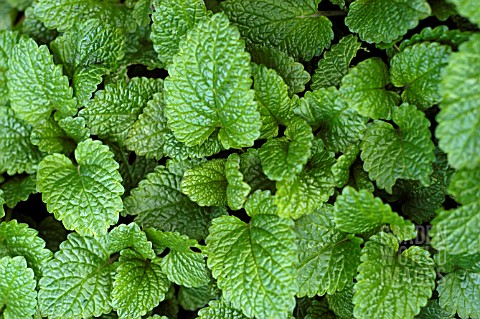 LEMON_BALM_MELISSA_OFFICINALIS
