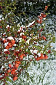 SNOW ON CHAENOMELES SPECIOSA (LAGENARIA) JAPANESE QUINCE
