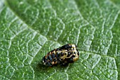COCCINELLA 7   PUNCTATA,  7 SPOT LADYBIRD PUPA VACATED,  BENEFICIAL INSECT,  ON DWARF FRENCH BEAN LEAF