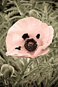 PAPAVER, ARTISTICALLY MANIPULATED IMAGE