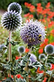 ECHINOPS VEITCHS BLUE WITH BUMBLE BEES