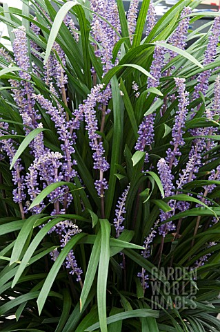 Liriope muscari moneymaker