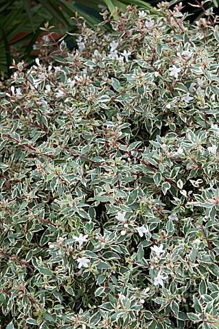 Sdy1002 Abelia X Grandiflora Confetti Conti Pbr Asset Details