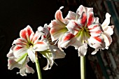 HIPPEASTRUM AMORICE - DOUBLE THE FLOWERS BY PLACING IN FRONT OF A MIRROR