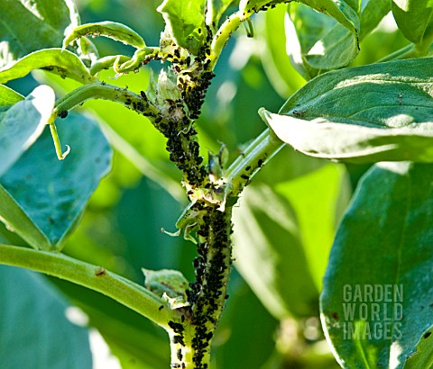 BLACKFLY_ON_BROAD_BEANS__
