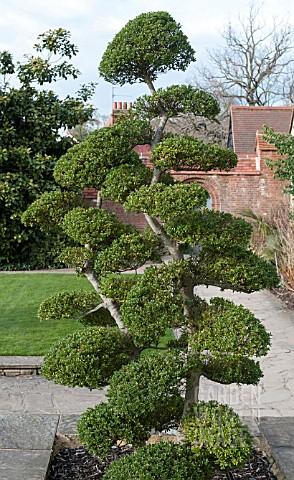 sdy1643 topiary cloud ilex crenata kimme asset. Black Bedroom Furniture Sets. Home Design Ideas